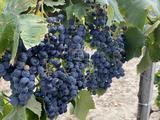 Eladó gyümölcsös, szőlő, Kisbér, Dózsa György út