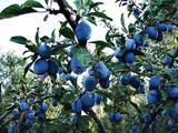 Eladó gyümölcsös, szőlő, Kecskemét, Belsőnyír, Belsőnyír